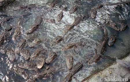 крокодилий детский сад