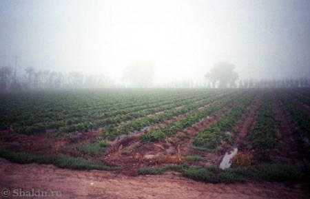 Поле клубники и классический английский туман