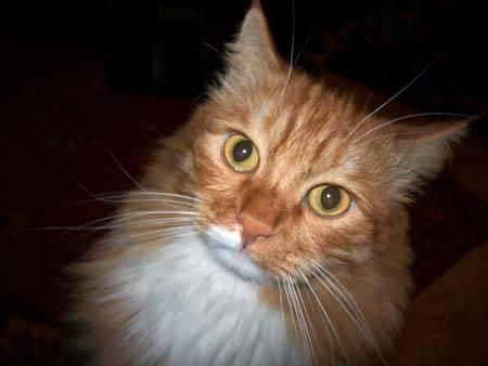 Рыжий кот Чика