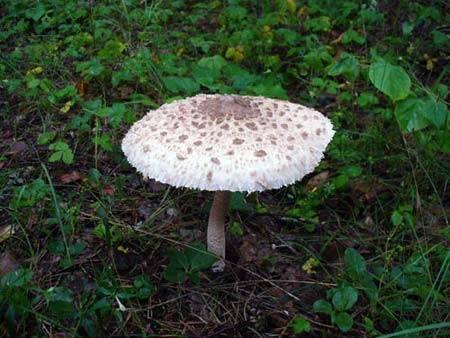 Царский гриб - съедобный и очень вкусный