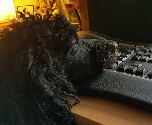 черный пудель Зодиак