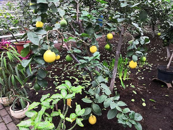 лимонарий в Уфе